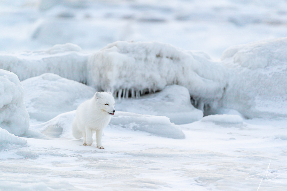 An Arctic Fox walks on ice freley thanks to its hairly paw.