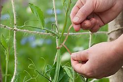 Supporting sweet peas on jute netting using twists / ties
