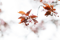 April 13, 2017 - Bydgoszcz, Poland - Flowers are seen blooming after a slow start to Spring with cold temperatures and above average precipitation in Bydgoszcz, Poland on 13 April, 2017. (Credit Image: © Jaap Arriens/NurPhoto via ZUMA Press)