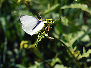 The Large White or Cabbage White (Pieris brassicae) Butterfly shot in Israel, Spring March.