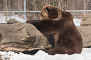 Otisville, New York - Bears at the Orphaned Wildlife Center on Feb. 3, 2019. Jim Kowalczik and his wife Susan Kowalczik are licensed wildlife rehabilitators who run the center with the goal of providing safety and nurturing to animals that are truly orphaned and prepare them to be returned to a life in the wild.