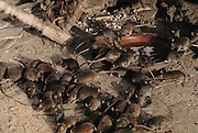 Swarming rats feeding and drinking water at the Hindu Rat Temple in Deshnoke, Rajasthan, India. This ornate Hindu temple was constructed by Maharaja Ganga Singh in the early 1900s as a tribute to the rat goddess, Karni Mata..