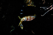 Bigfin Reef Squid (Septioteuthis lessoniana)<br /> & Palolo worms<br /> Raja Ampat<br /> West Papua<br /> Indonesia