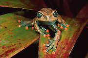 Red-toed tree frog (Hyla lindae)<br /> CAPTIVE<br /> Cloud forest to Amazon<br /> ECUADOR. South America<br /> RANGE: Ecuador