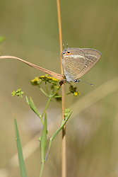 Tijgerblauwtje, Lampides boeticus