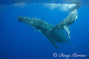 humpback whales, Megaptera novaeangliae, calf dives toward mother, Vava'u, Kingdom of Tonga, South Pacific; both mother and baby have commensal remoras, or shark suckers attached to underside