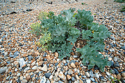 Sea Kale, Crambe maritima, Sandwich Bay, Kent UK - Kent Wildlife Trust, is a halophytic perennial plant, halophyte is a plant that grows in waters of high salinity