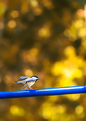 A Black-capped Chickadee walks across a blue pole