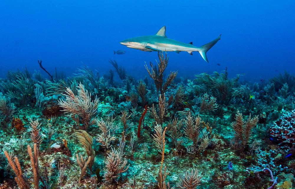 A Caribbean reef shark (Carcharhinus perezi) swims over a coral reef off Eleuthera, Bahamas.