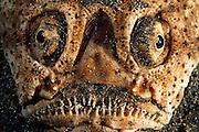 Stargazer (Uranoscopus sulphureus) - In addition to the top-mounted eyes, stargazers also have a large upward-facing mouth in a large head. Their usual habit is to bury themselves in sand, and leap upwards to ambush prey (benthic fish and invertebrates) that pass overhead. [size of single organism: 40 cm] | Sterngucker (Uranoscopus sulphureus) - Die Himmelsgucker (Uranoscopidae) sind eine Familie von Fischen der Ordnung der Barschartigen Ihr Name rührt daher, dass sie meistens im sandigen oder schlammigen Boden vergraben sind und nur die hochstehenden Augen an der Oberseite des Kopfes sichtbar sind. Außerdem sind die meisten Arten mit einem Giftstachel ausgestattet.