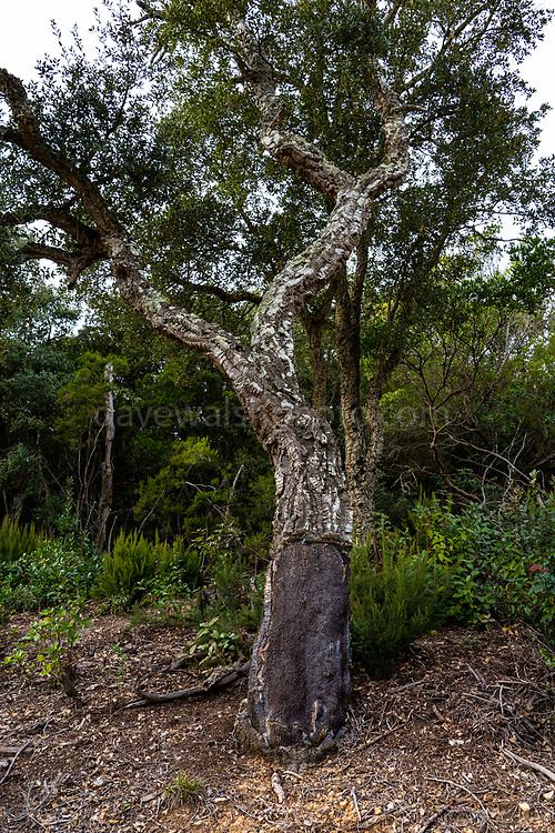 Oak Tree stripped for cork cork, Quercus suber. Massís de les Cadiretes, Catalonia, Spain.
