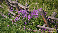 Dame's rocket (Hesperis matronalis) grows on a rustic fence rail on May 29, 2017, at the Sacajawea Center in Salmon, Idaho. (© 2017 Cindi Christie/Cyanpixel)