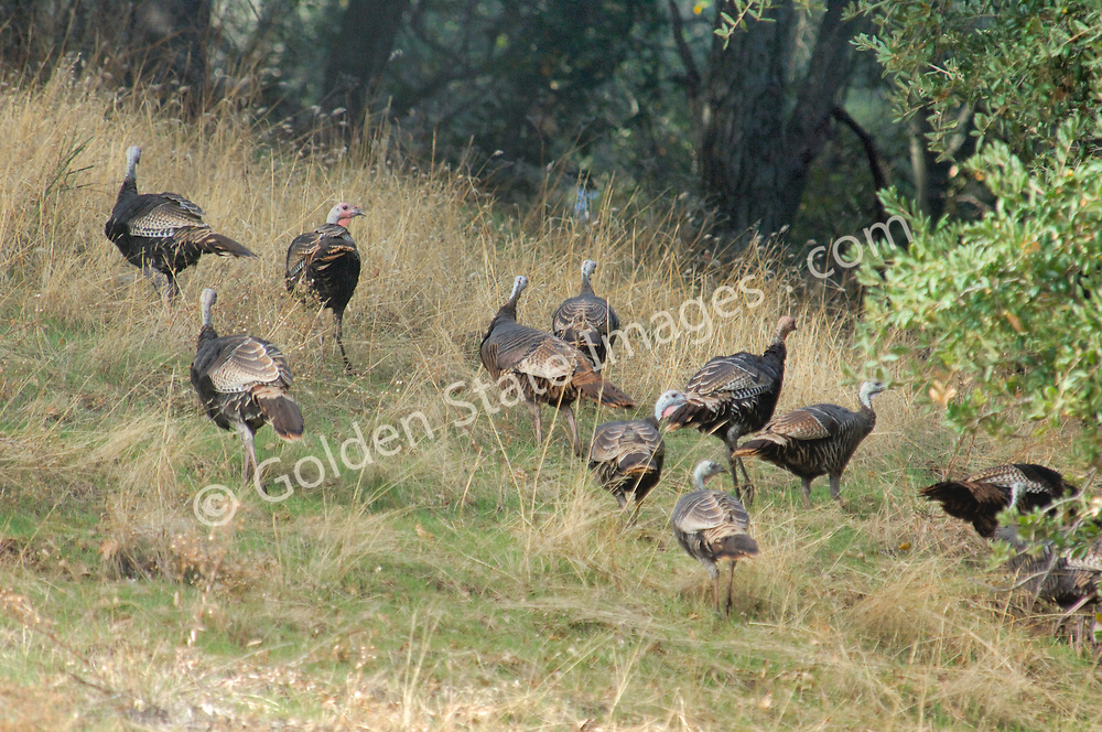 Although still debated it is believed Wild Turkeys are an introduced species in California. The earliest documented accounts of attempts to establish non-native turkeys in California goes back to 1877.    <br />   <br /> Wild Turkeys prefer oak woodlands but can also be found in grasslands and pine forests.    <br /> <br /> Species: Meleagris gallopavo