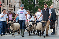 Members of Farmers for a People's Vote led a Flock of sheep past government buildings in Whitehall in demonstration against Brexit. <br /> <br /> Richard Hancox | EEm 15082019