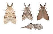 72.015 (2028)<br /> Pale Tussock - Calliteara pudibunda