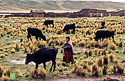 an Aymara indian woman tends to her cattle in Bolivia's altiplano region.
