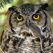 Great Horned Owl (Bubo virginianus) with a mouse in its beak. Captive Animal