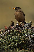 Austral Thrush<br />Turdus  falchlandii<br />Stanley Island, FALKLAND ISLANDS<br />RANGE: Falklands, S & c Argentina and Chile to Tierra del Fuego, San Fernandez Island.