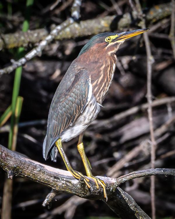 Green Heron at Madison's Wingra Creek, Aug. 20, 2020.