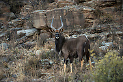 Nyala (Tragelaphus angasil)<br /> Private game ranch<br /> Great Karoo<br /> SOUTH AFRICA