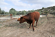 Free grazing cattle