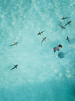 Aerial view of a diver feeding mantas and sharks in the transparent sea of Moorea Island in French Polynesia.