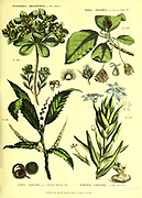 Euphorbia helioscopia [Sun spurge] Fagus sylvatica [common Beech Tree] Fagus castane [chestnut tree] Ferraria undulata [Cape Ferraria] from Vol 1 of the book The universal herbal : or botanical, medical and agricultural dictionary : containing an account of all known plants in the world, arranged according to the Linnean system. Specifying the uses to which they are or may be applied By Thomas Green,  Published in 1816 by Nuttall, Fisher & Co. in Liverpool and Printed at the Caxton Press by H. Fisher