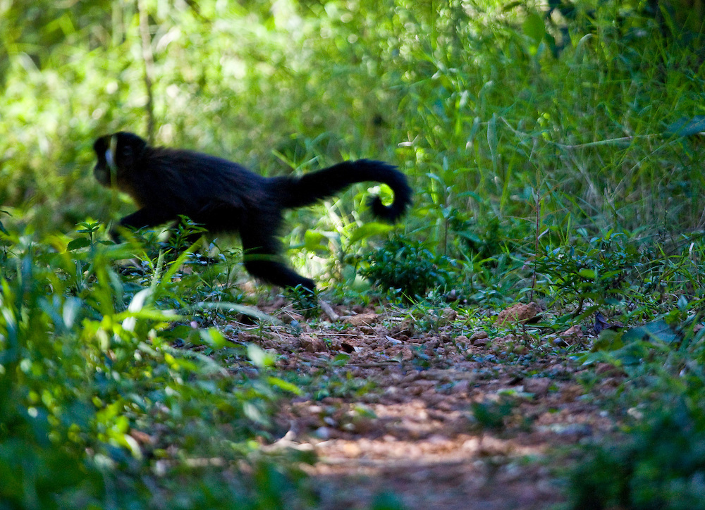 Pocos de Caldas_MG, Brasil...Detalhe de um Macaco-Prego (Cebus apella) em uma Reserva Particular do Patrimonio Natural...The Capuchin monkey (Cebus apella) in the Private Reserve of Natural Heritage...Foto: JOAO MARCOS ROSA /  NITRO