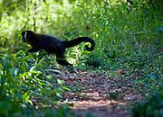 Pocos de Caldas_MG, Brasil...Detalhe de um Macaco-Prego (Cebus apella) em uma Reserva Particular do Patrimonio Natural...The Capuchin monkey (Cebus apella) in the Private Reserve of Natural Heritage...Foto: JOAO MARCOS ROSA /  NITRO