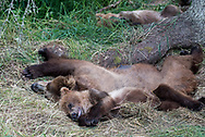 A brown bear family rests during the day at Katmai National Park