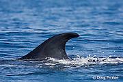dorsal fin of Bryde's whale, Balaenoptera brydei or Balaenoptera edeni, with copepod parasite near tip, off Cabo San Lucas, Baja California, Mexico ( Eastern Pacific Ocean )