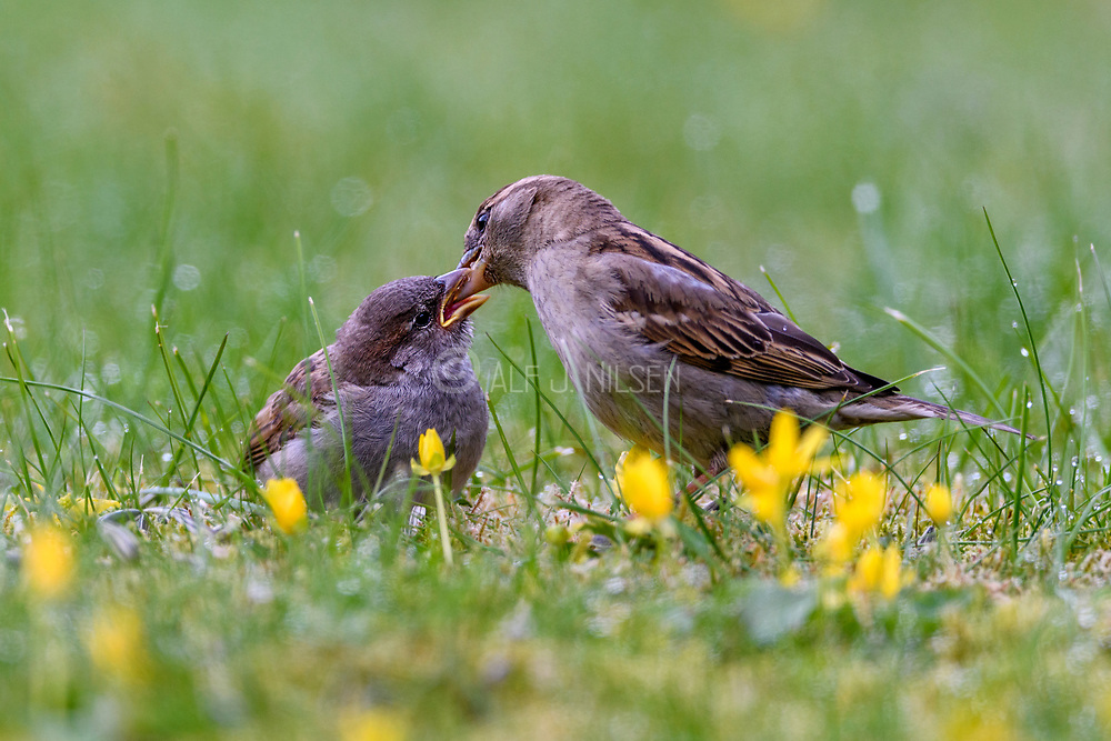 Female house sparrow (Passer domesticus) feeding a large chick.  South-western Norway in mid May.