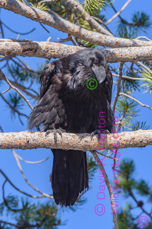Raven perched in lodgepole pine tree lookes downward curiously, © David A. Ponton