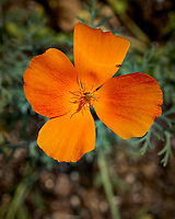 Orange California Poppy Flower. Image taken with a Leica TL2 camera and 60 mm f/2.8 macro lens.