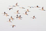 Spoonbills (Platalea leucorodia) in flight. Poole Harbour, Dorset, UK.