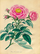 ROSA Provincialis regalis, Royal or Queen's Province Rose From the book Roses, or, A monograph of the genus Rosa : containing coloured figures of all the known species and beautiful varieties, drawn, engraved, described, and coloured, from living plants. by Andrews, Henry Charles, Published in London : printed by R. Taylor and Co. ; 1805.