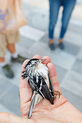 Volunteers collecting birds killed by building strikes as part of Lights Out Texas campaign, Dallas, Texas, USA. Lights Out is a project of the Cornell Lab of Ornithology to issue BirdCase alerts for heavy bird migrations to assist local buildings turn off their lights.