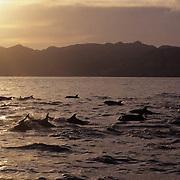 Bottlenose Dolphin (Tursiops truncatus) in the Sea of Cortez near Baja,  Mexico..Bottlenose Dolphin (Tursiops truncatus) in the Sea of Cortez near Baja, Mexico.