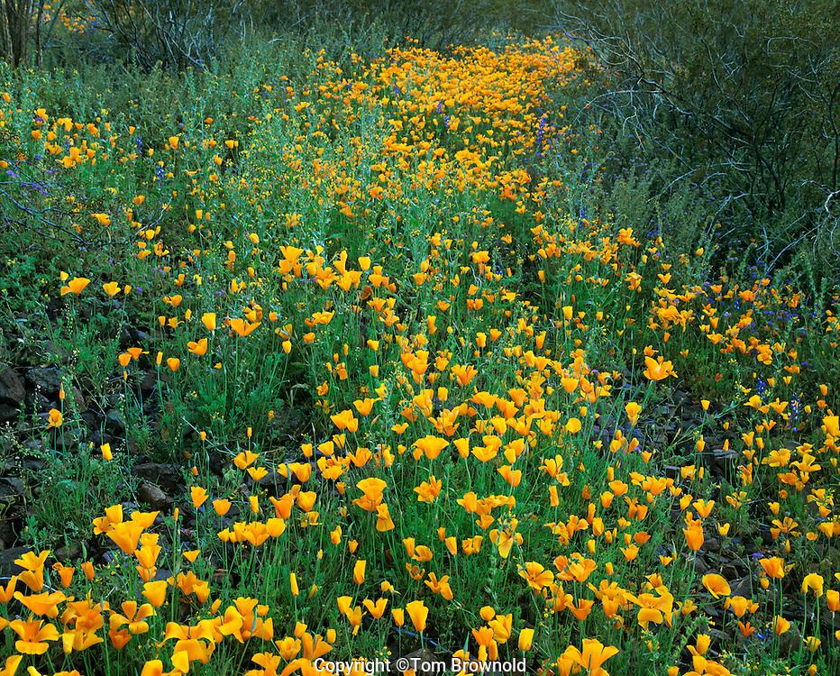 Spring flower bloom in the desert