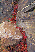 Virginia creeper foliage in autumn and rock at Lily Pond, Whiteshell Provincial Park, Manitoba, Canada