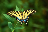 This perfect example of an eastern tiger swallowtail is resting on a wild primrose bush deep in the Corkscrew Swamp of Collier County, Florida.