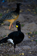 Aquidauana_MS, Brasil...Mutum-de-Penacho (Crax Fasciolata) na fazenda Rio Negro no Pantanal...The Bare Faced Curassow (Crax Fasciolata) in the Rio Negro farm in Pantanal...Foto: JOAO MARCOS ROSA / NITRO
