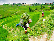 04 AUGUST 2015 - KHOKANA, NEPAL:  A farmer with grass he harvested for his animals in Khokana, Nepal.     PHOTO BY JACK KURTZ