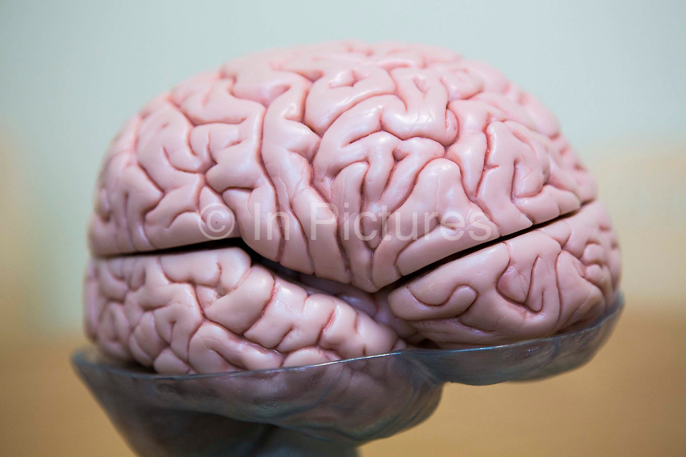 A side view of a plastic model of a human brain used to teach students at the Royal Neurological Hospital, London, United Kingdom.