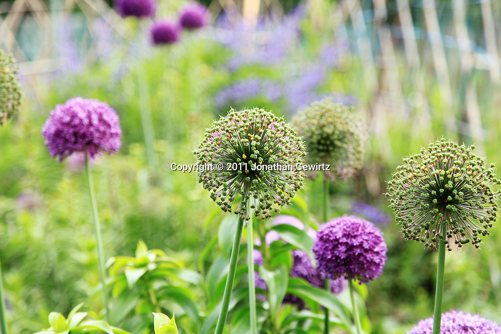 Purple Allium giganteum flowers in a garden (horizontal). WATERMARKS WILL NOT APPEAR ON PRINTS OR LICENSED IMAGES.