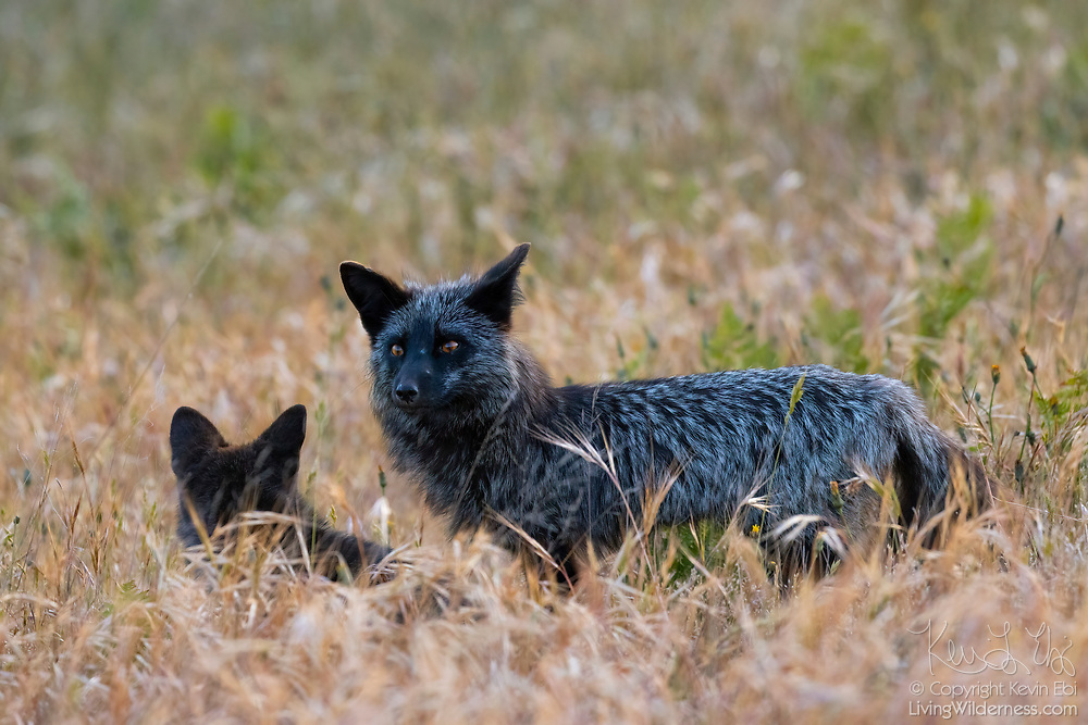 A red fox (Vulpes vulpes) watches over one of her kits in tall grass in San Juan Island National Historical Park on San Juan Island, Washington. Even though both of these foxes are black, all of the foxes in the park are technically red foxes, regardless of their color. Red foxes were introduced to San Juan Island on various occasions in the 1900s.