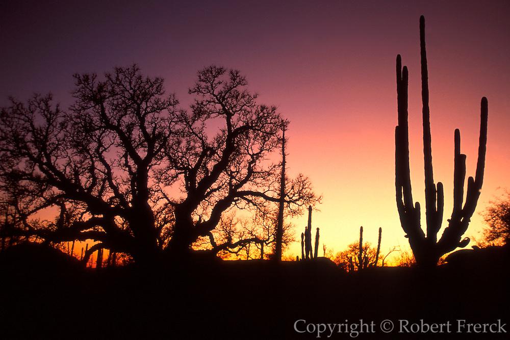 MEXICO, BAJA CALIFORNIA Central Desert, Cardon and 'Boojum'