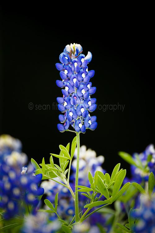 Bluebonnets, Cedar Hill State Park, Texas, USA.