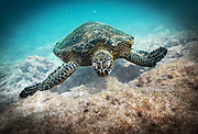 Scuba diving with Green Turtle in Hawaii, Big Island
