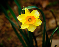 Daffodil Bloom. Image taken with a Fuji X-H1 camera and 80 mm f/2.8 macro lens
